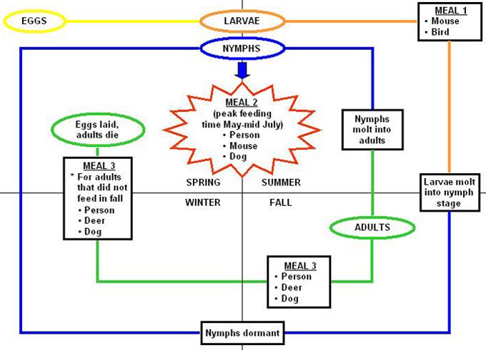 Deer Tick life cycle diagram